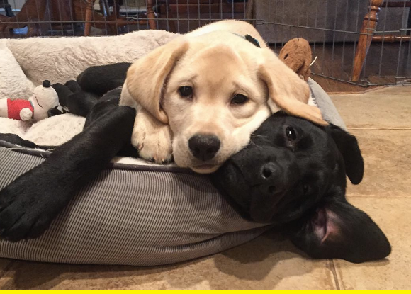 Lab puppies.