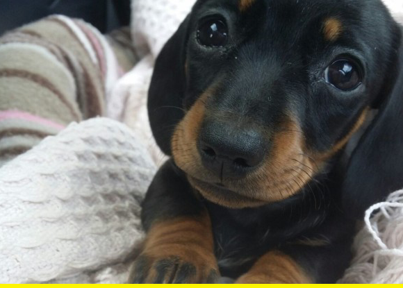Cute doxie.