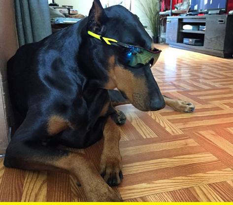 Sunglasses doggo.