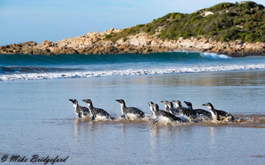 Penguin Release - Mike Bridgeford
